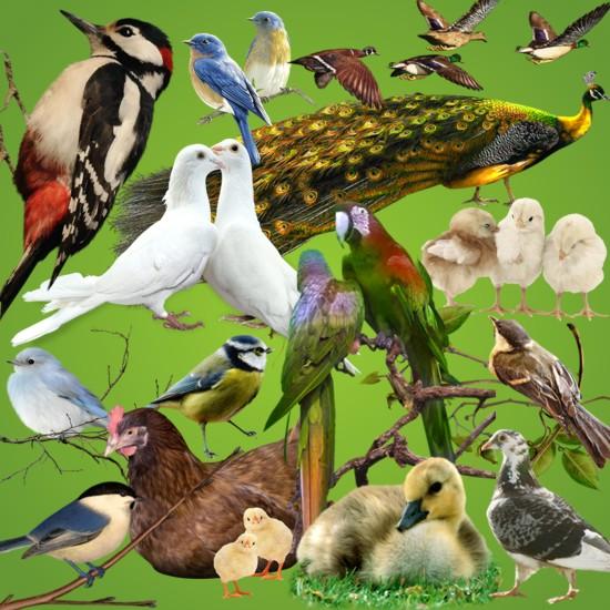 Птахи png